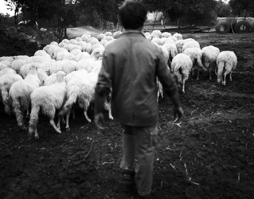 Italy-moving-sheep