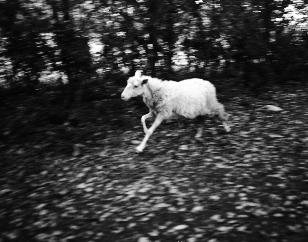 Italy-running-sheep